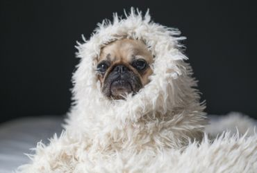 Pug Wrapped in Blanket