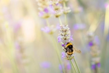 Busy Bee on Lavender