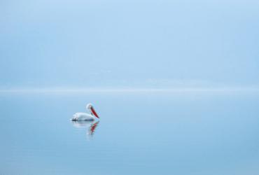 Pelican on Calm Sea